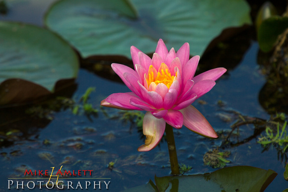 waterLily-4561
